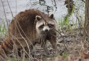 Raccoon,_female_after_washing_up